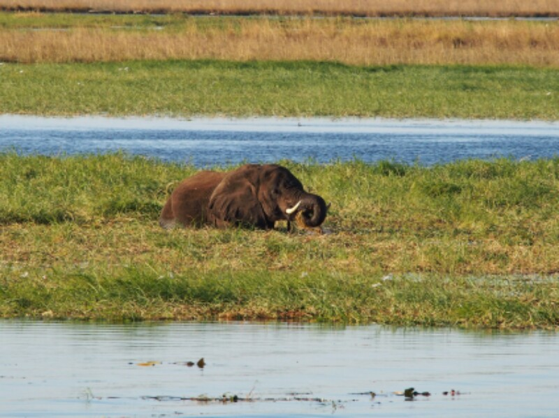 Chobe Boot Elefant 1