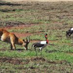 South Luangwa Storch 2